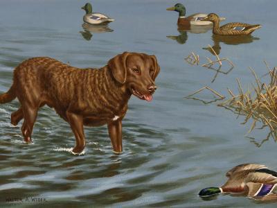 Chesapeake Bay Retriever Wades in Water to Retrieve a Dead Duck-Walter Weber-Photographic Print