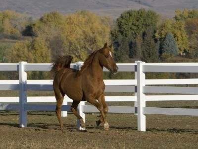 Chestnut Arabian Gelding Cantering in Field, Boulder, Colorado, USA-Carol Walker-Photographic Print