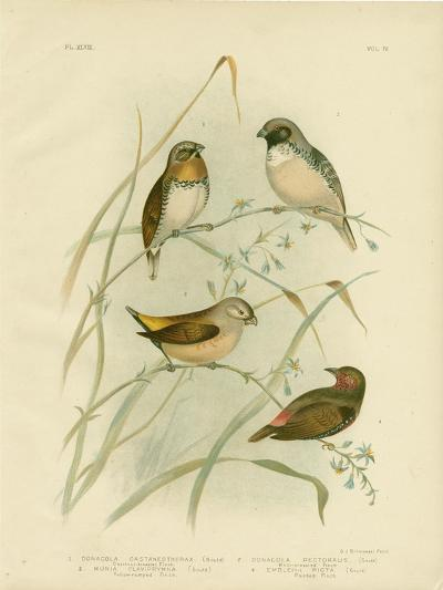 Chestnut-Breasted Finch, 1891-Gracius Broinowski-Giclee Print