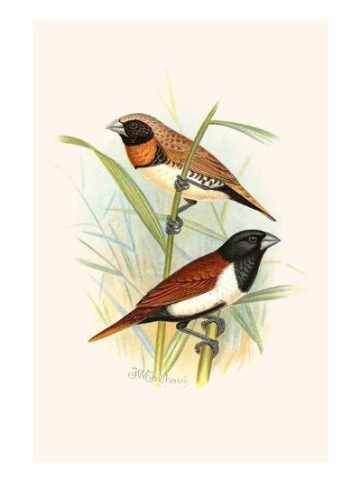 Chestnut Breasted Finch and Three Colored Mannikin-F^w^ Frohawk-Art Print