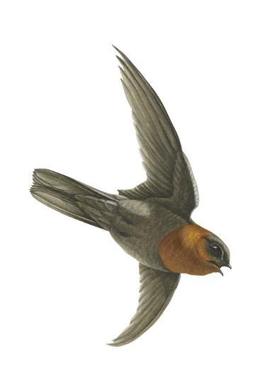 Chestnut-Collared Swift (Cypseloides Rutilus), Birds-Encyclopaedia Britannica-Art Print