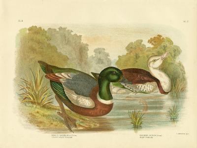 Chestnut-Colored Shieldrake or Australian Shelduck, 1891-Gracius Broinowski-Giclee Print