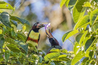 Chestnut-Eared Aracari (Pteroglossus Castanotis), Misiones, Argentina-Michael Nolan-Photographic Print