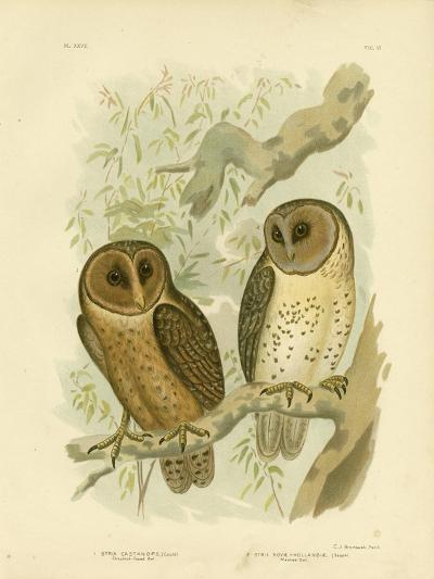 Chestnut-Faced Owl, 1891-Gracius Broinowski-Giclee Print