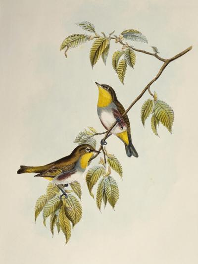 Chestnut-Flanked White-Eye (Zosterops Erythropleurus)-John Gould-Giclee Print