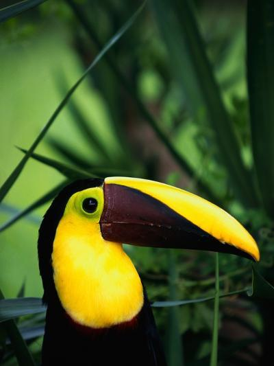 Chestnut-Mandibled Toucan-Tom Brakefield-Photographic Print