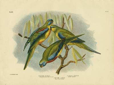 Chestnut-Shouldered Grass Parrakeet, 1891-Gracius Broinowski-Giclee Print