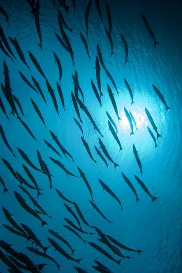 Chevron Barracuda-Matthew Oldfield-Photographic Print