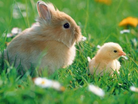 Chick and pygmy rabbit in the grass-Frank Lukasseck-Photographic Print