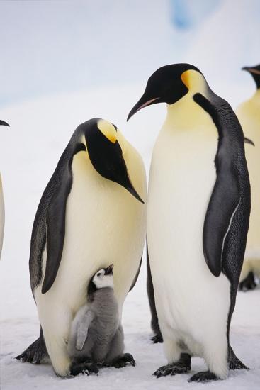 Chick between Adult Emperor Penguin-DLILLC-Photographic Print