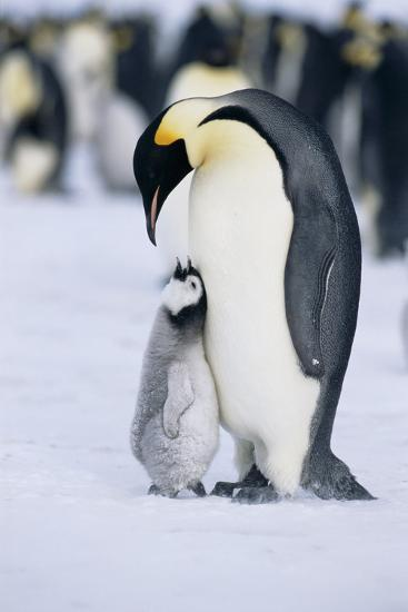Chick Looking up at Adult Emperor Penguin-DLILLC-Photographic Print