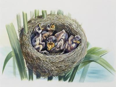 Chick of Common Cuckoo (Cuculus Canorus), Cuculidae, in Nest of Parasitic Species--Giclee Print