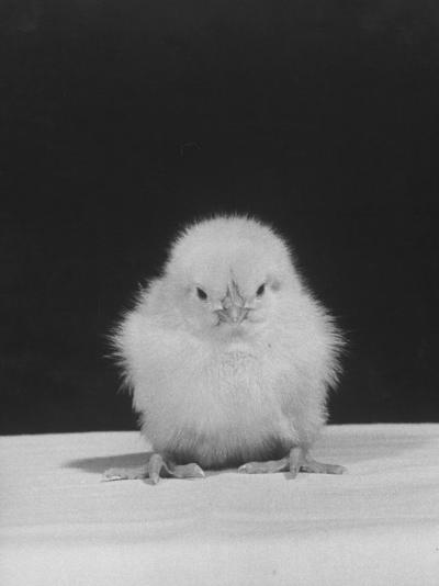 Chick Posing for the Camera--Photographic Print