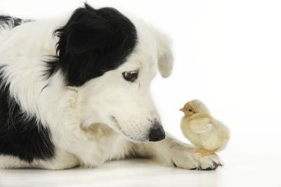 Chick Sitting on Border Collies Paw--Photographic Print