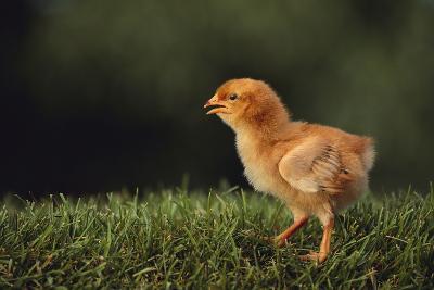 Chick-DLILLC-Photographic Print
