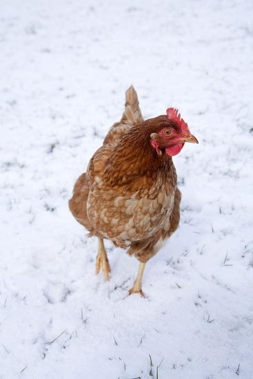 Chicken in Snow--Photographic Print