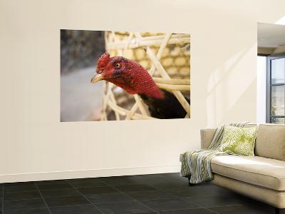 Chicken Sticking its Head Out of Basket-Dan Gair-Wall Mural
