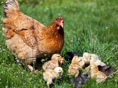 Chicken with Babies-Xilius-Photographic Print