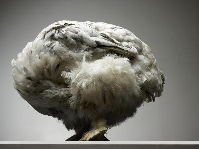 Chicken-Adrianna Williams-Photographic Print