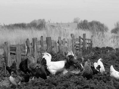 https://imgc.artprintimages.com/img/print/chickens-domestic-fowl-rooster-and-hens-netherlands_u-l-q10ohdt0.jpg?p=0