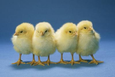 Chickens X4 Chicks--Photographic Print