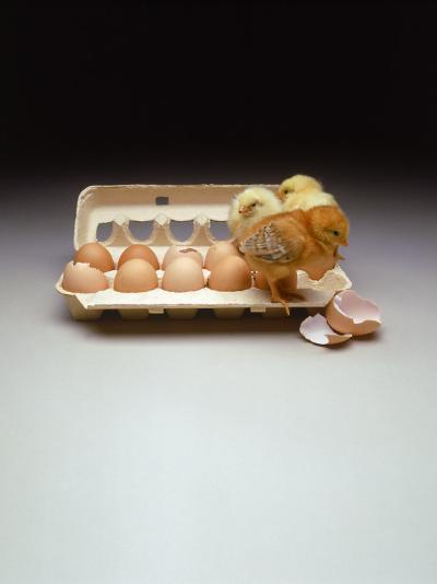 Chicks in a Carton of Eggs-Bob Kramer-Photographic Print