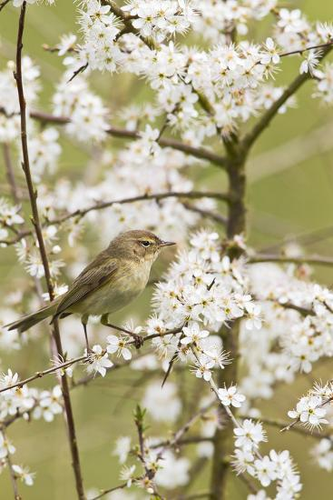 Chiffchaff on Blackthorn Blossom--Photographic Print