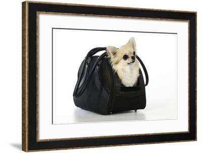 Chihuahua Dog in Carry Bag--Framed Photographic Print