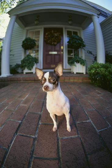 Chihuahua Dog-DLILLC-Photographic Print
