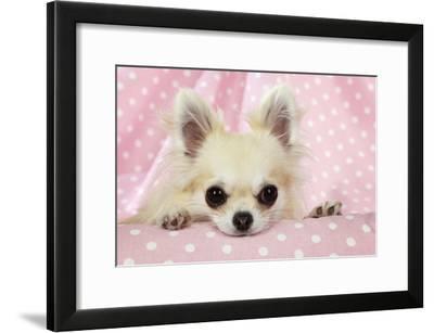 Chihuahua Dog--Framed Photographic Print