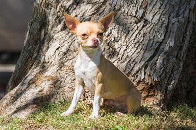 Chihuahua Looking-Zandria Muench Beraldo-Photographic Print