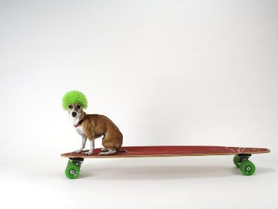 Chihuahua on a Skateboard-Chris Rogers-Photographic Print