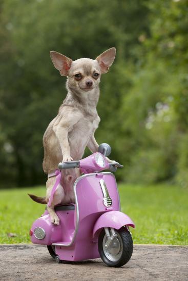 Chihuahua on Scooter--Photographic Print