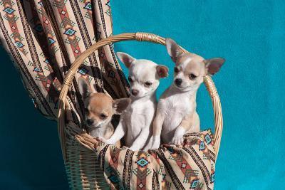 Chihuahua Puppies in a Basket-Zandria Muench Beraldo-Photographic Print