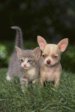 https://imgc.artprintimages.com/img/print/chihuahua-puppy-and-a-kitten_u-l-pzrajn0.jpg?p=0