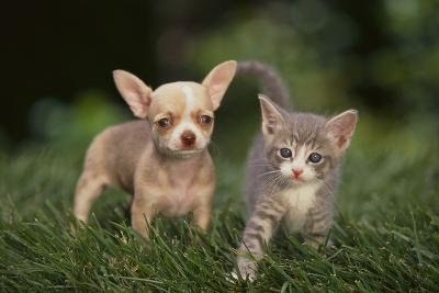 Chihuahua Puppy and a Kitten-DLILLC-Photographic Print