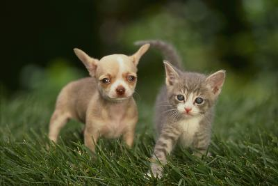 Chihuahua Puppy and Kitten-DLILLC-Photographic Print