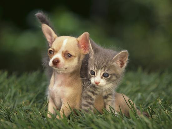 Chihuahua Puppy and Kitten-DLILLC-Photographic Print