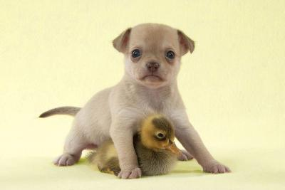 Chihuahua Puppy Standing with Duckling (6 Weeks)--Photographic Print