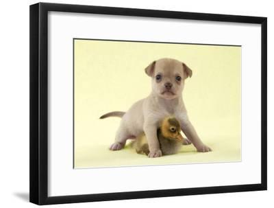 Chihuahua Puppy Standing with Duckling (6 Weeks)