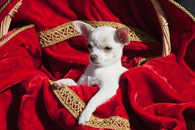 Chihuahua Puppy Surrounded in Red and Gold-Zandria Muench Beraldo-Photographic Print
