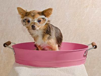 Chihuahua Puppy Taking A Bath Wearing Goggles Sitting In Pink Bathtub-vitalytitov-Photographic Print