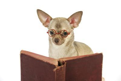 Chihuahua Reading a Book Wearing Glasses--Photographic Print