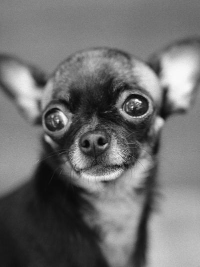 Chihuahua's Face-Henry Horenstein-Photographic Print