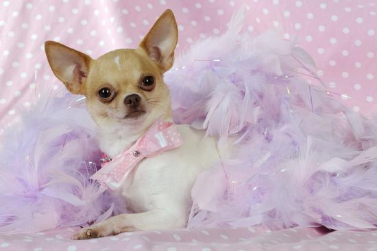 Chihuahua Wearing Pink Collar Laying on Purple--Photographic Print