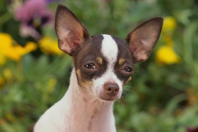 Chihuahua-DLILLC-Photographic Print