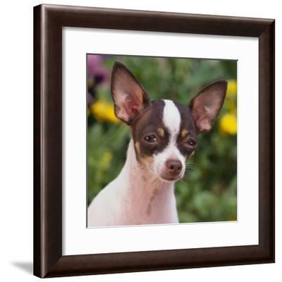 Chihuahua-DLILLC-Framed Photographic Print