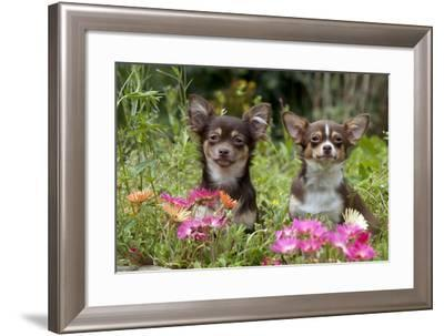 Chihuahuas Sitting in Flowerbed--Framed Photographic Print