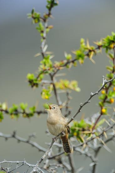 Chile, Aysen, Valle Chacabuco. House Wren in Patagonia Park.-Fredrik Norrsell-Premium Photographic Print