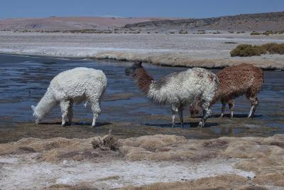 Chile, Pakana, Semi-Wild Llamas Drinking at the Tara Salt Lake-Mallorie Ostrowitz-Photographic Print
